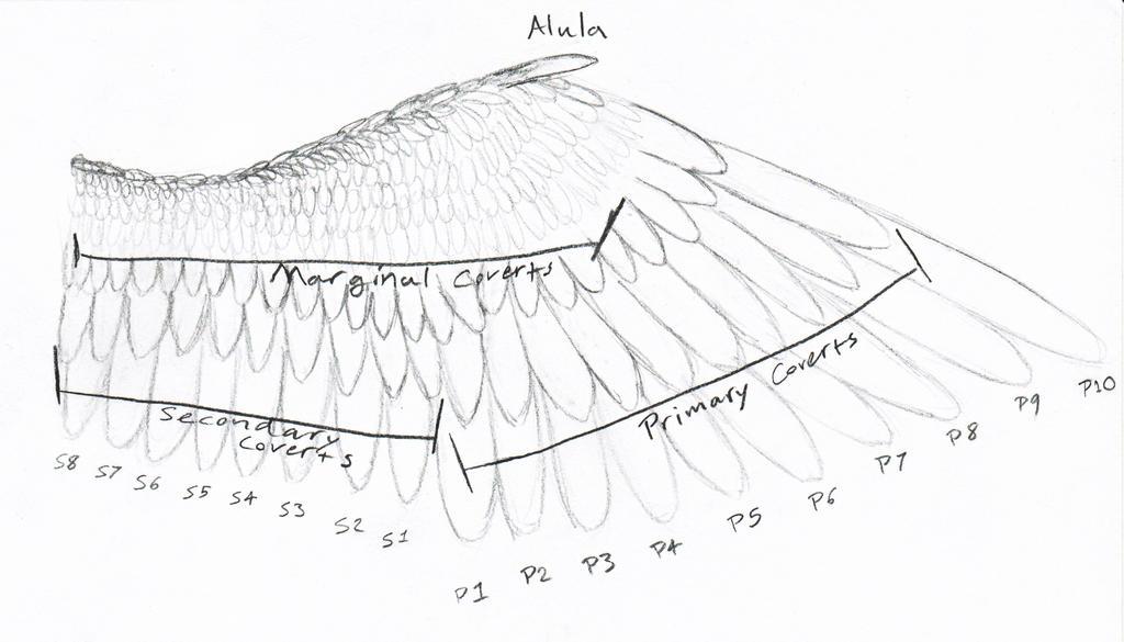 Bird Wing Diagram By Prettybirdie1 On Deviantart