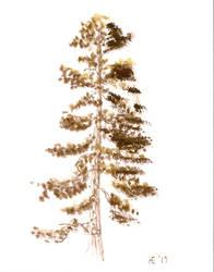 Tree Study: Ponderosa pinus