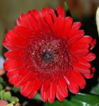 Red Rings of Petals