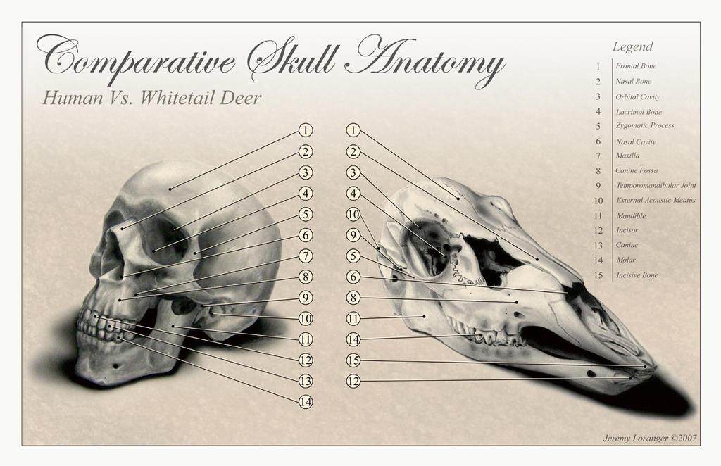 Comparative Skull Anatomy by Novastar2486 on DeviantArt