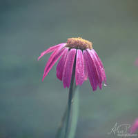 Pink Flower by Alyss6