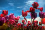 Tulip Field HDR