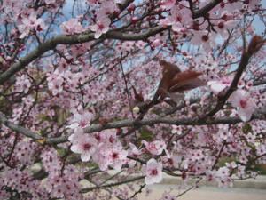 Sakura Cherry blossom 01