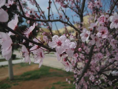 Sakura Cherry blossom 02