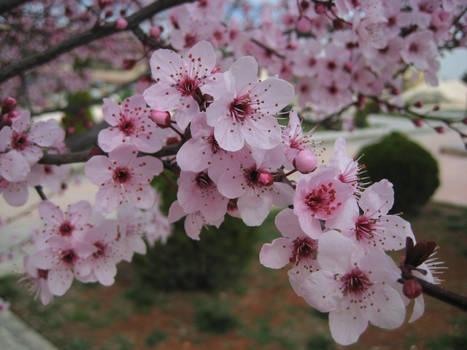 Sakura Cherry blossom 03