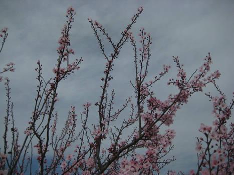 Sakura Cherry blossom 05