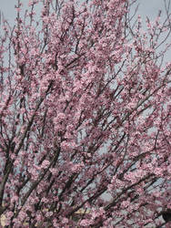 Sakura Cherry blossom 06