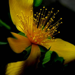 Yellow flower by jynto
