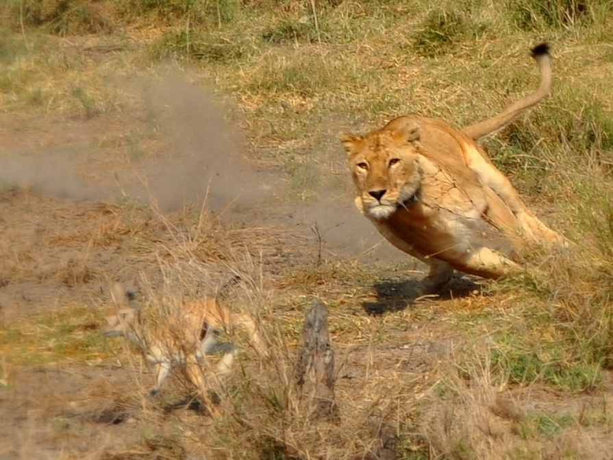 Lioness Hunting...