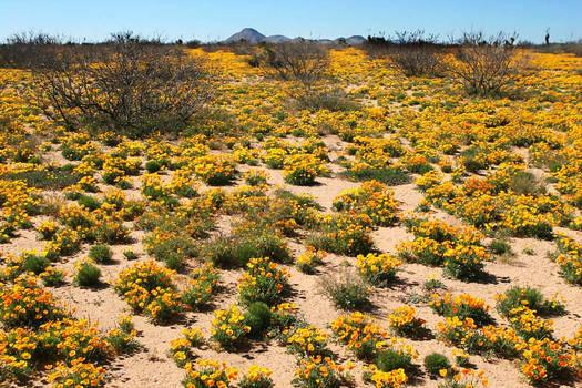 Desert Poppys