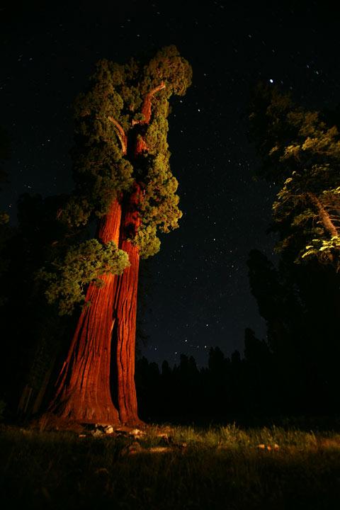 Midnight Sequoia by dogeatdog5
