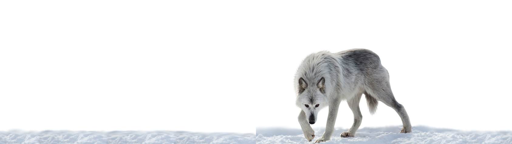 Wolf Wallpaper Inverted (Dual Monitor) 3840x1080 by BowieGirl95 ...