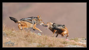 Jackal Fight by mitchellkrog