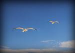 2-Seagulls-In-flight