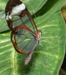 Glasswing Butterfly 2