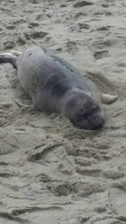 Baby Seal by bigfootRULES