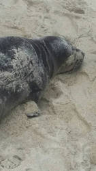 Baby seal 2 by bigfootRULES