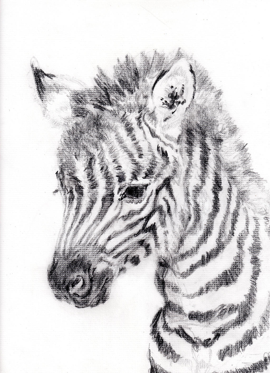 Baby Zebra by BluEmerald on DeviantArt