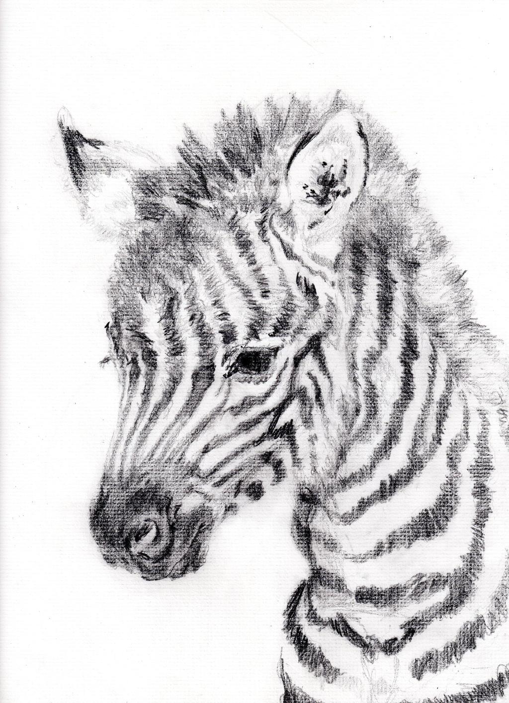 Baby zebra pencil drawing photo2