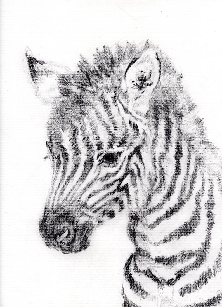Easy Zebra Pencil Drawing Animal Kid