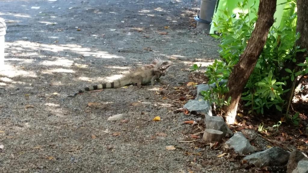 Iguana on St. Thomas by Tyrannosaur17