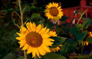 Good Morning Sunflowers