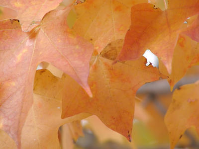 Orange Maple Leaves by CU-rob