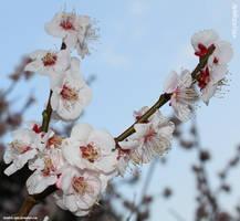 Sakura by SkT0330