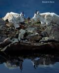 Goats Reflecting