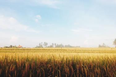 Rice Paddy by rhadiska