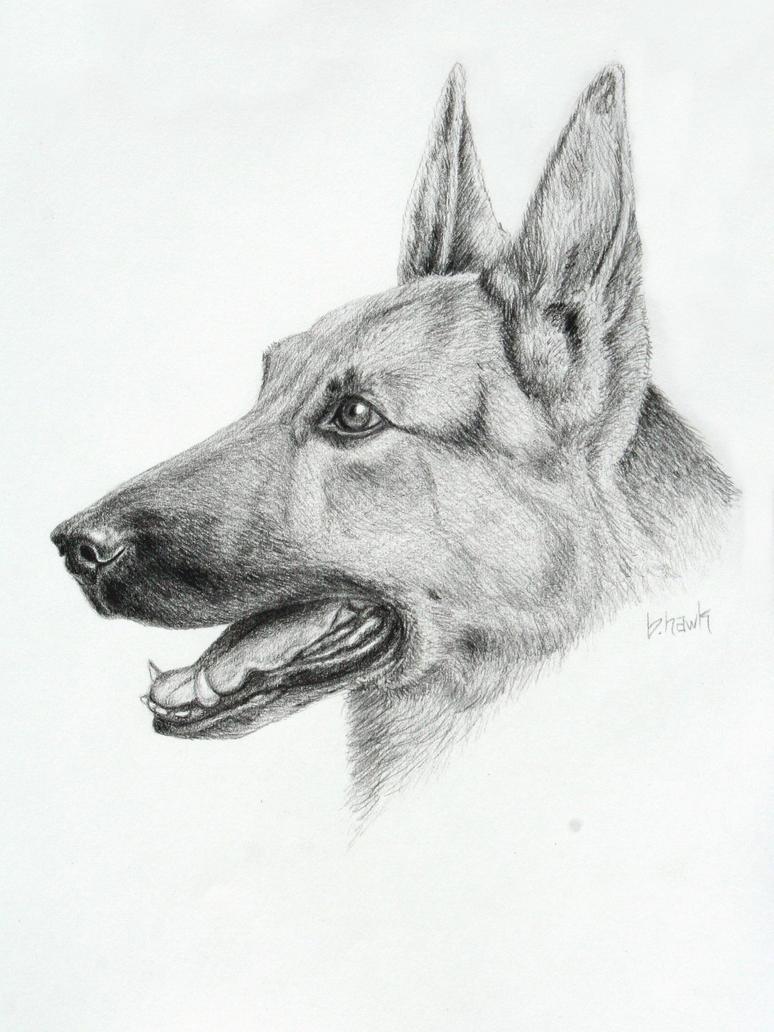 german shepherd drawing by brithawk