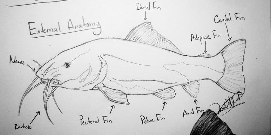 Catfish Anatomy Study by DelightsJD on DeviantArt