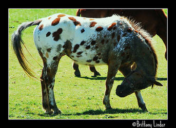 Brown Appaloosa by VonLow