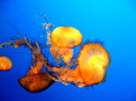 jellyfish by fortuna1