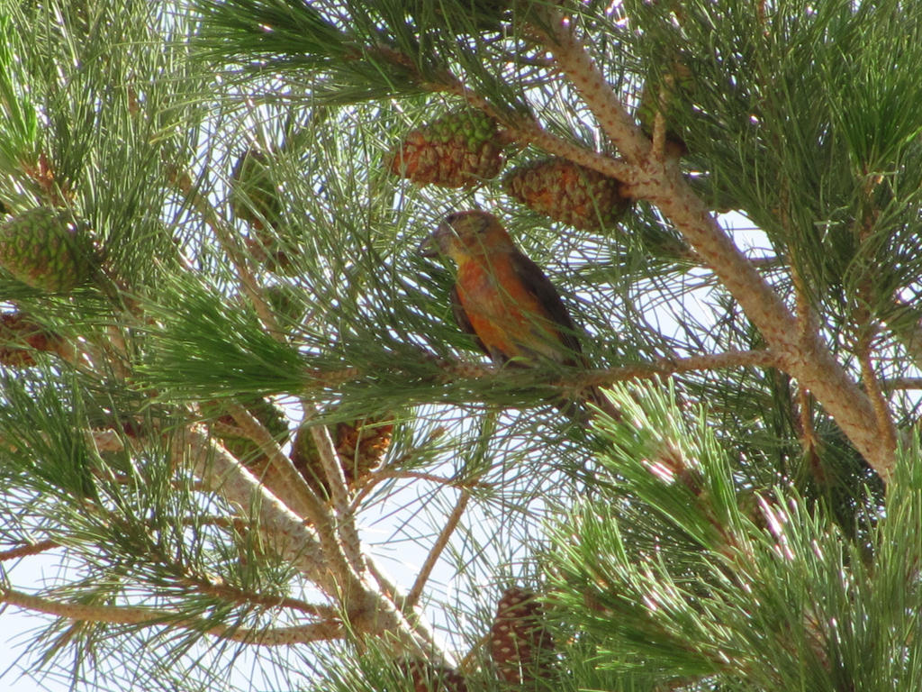 Red Crossbill by hclausen