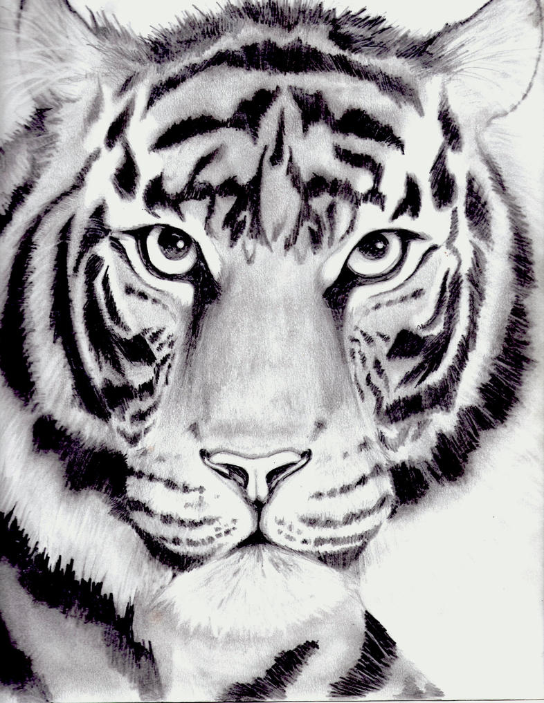 Line Drawing Of A Tiger S Face : Tiger drawing by kittycat on deviantart