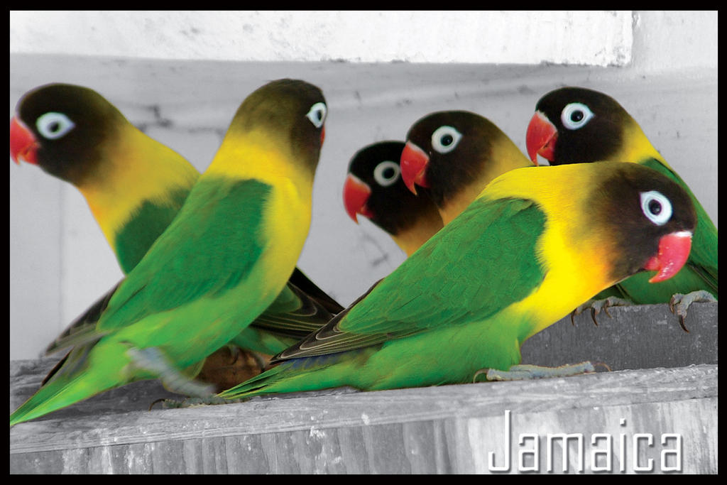 Jamaica National Bird Coloring Page