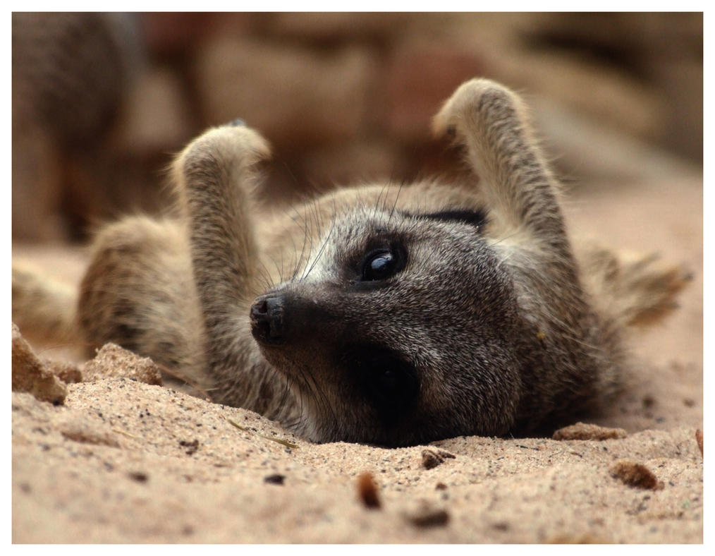 Meerkat by Cataclismic