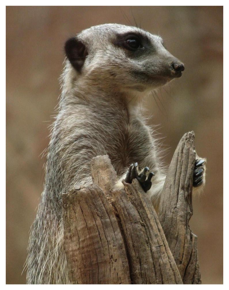 Meerkat 2 by Cataclismic
