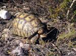 Tortoise Encounter by jellybush