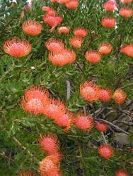 Pincushion Field by jellybush