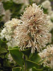 Mystery Protea I by jellybush