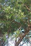 Southern Boubou Chilling by jellybush