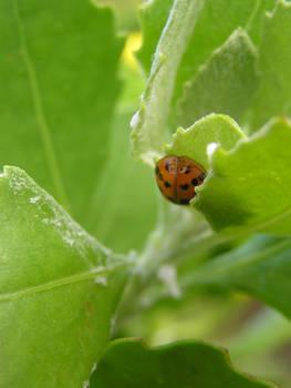 A Ladybug Snoozing