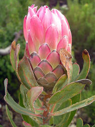 Protea Repens From the Side by jellybush