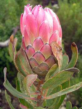 Protea Repens From the Side