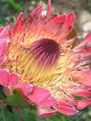 A Protea Sun by jellybush