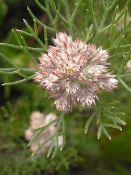 Serruria Fasciflora Protea