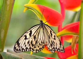 Butterfly by Jogi1960
