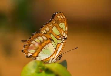 Butterfly 3 by Jogi1960